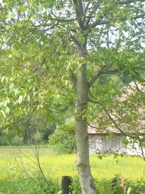 Újjáéledt diófa és környéke