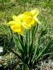 Sárga nárciszok