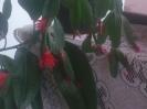 Pünkösdi kaktusz (Június 12. Pünkösd vasárnapja)