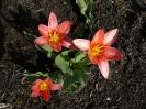 Virágvasárnapi tulipánok