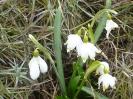 Tavasz-hírnök hóvirág